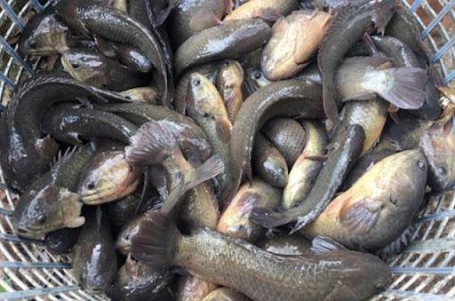 Nằm mơ thấy cá rô phi đánh con gì may mắn?